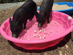 Kiddy Pool: Pools are GREAT! Inflatable pools or hard plastic pools work unless your pig is a destructor. Many vegetables will float in the water. This is a great way to introduce your pig to the pool and make it rewarding. A pig can enjoy her pool in man This Little Piggy, Little Pigs, Cute Baby Animals, Farm Animals, Juliana Pigs, Micro Mini Pig, Pot Belly Pigs, Pig Pen, Pig Farming