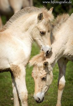 Norwegian Fjord foals. look at these cuties, with their manes all clipped!