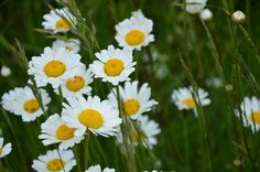 My favorite.... simple daisies