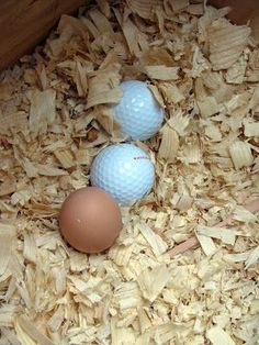 Peanut Head read on the internet that chickens need to be trained to lay their eggs in the nesting boxes and not where they poop. Which is, obviously, everywhere. So, apparently golf balls are going to trick them into not pooping in their nesting boxes.
