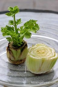 Regrowing Celery... what?? really?  cool! I will have to try this.