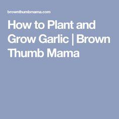 How to Plant and Grow Garlic   Brown Thumb Mama