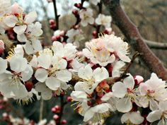 Popcorn popping on the apricot tree!