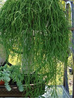 Rhipsalis campos-portoana is an epiphytic cactus with elongated, much branched stems, hanging in large clusters. The branches are slender, light green, up to 4 inches (10 cm) long and up to 0.1 inch (2 mm) thick. The flowers are whitish, widely spreading and up to 0.4 inches (1 cm) long... Propagating Succulents, Cacti And Succulents, Cactus Plants, Hanging Succulents, Indoor Cactus, Indoor Garden, Container Plants, Container Gardening, Air Plants
