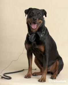 "Kimba (Rottweiler) - ""I hear you…"" (pic by Rachael Hale)"