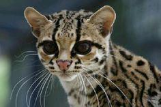 Leopardus wiedii detto gatto Margay prima solo selvatico ora addomesticato