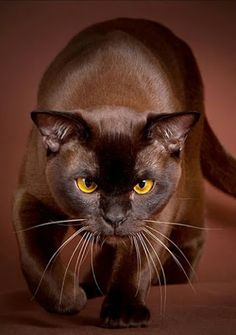 Burmese Cat (I finally noticed that this had been mislabeled Havana Brown. Pretty Cats, Beautiful Cats, Animals Beautiful, Animals And Pets, Cute Animals, Photo Chat, Brown Cat, Warrior Cats, Domestic Cat