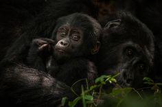 via http://ift.tt/2n6Vv7d Mountain Gorillas by Sean Crane Follow us on Facebook http://ift.tt/1ZBR6Ym