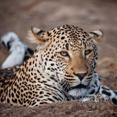 "A Male Leopard: ""Just lying around.""  (Photo By: Rudi Hulshof.)"