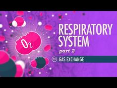 Respiratory System - how your blood cells exchange oxygen and to maintain homeostasis. We'll see how partial pressure gradients get along with. Biology Lessons, Science Lessons, Teaching Science, Life Science, Science Classroom, Respiratory Therapy, Respiratory System, Circulatory System, Healing Camp