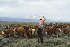A Cowboy Herds Cattle On An Idaho Ranch by Joel Sartore Cattle Drive, Ranch Life, Cowboy And Cowgirl, Rind, Wild Horses, Livestock, Idaho, Rodeo, We The People