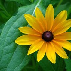 Rudbeckia 'Marmalade' - I planted a few seeds from the Jan. '17 trade but only 2 sprouted so I'm babying them to see what the look like. (tbb)