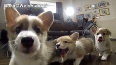 Cute corgi puppies part 6 Puppy wants to eat camera. slow motion. Six minutes of slow mo corgis. YES.