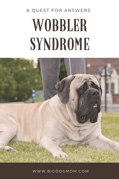 Wobbler Syndrome is an insidious, progressive neurological disease in large and giant breed dogs. Sadly, this diagnosis leads to more questions than answers. Mastiff Breeds, Mastiff Puppies, Dog Breeders, Corgi Puppies, Dogs And Kids, Big Dogs, Large Dogs, Dog Health Tips, Dog Health Care
