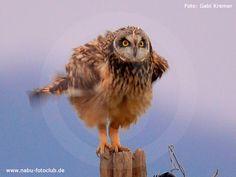Gut getarnt und dennoch stark bedroht - Die Sumpfohreule - https://www.nabu.de/tiere-und-pflanzen/voegel/vogelkunde/vogelportraets/03935.html