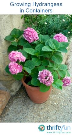 This is a guide about growing hydrangeas in containers. While it is possible to grow hydrangeas in containers, there are some steps you will need to follow to keep your plants happy and healthy.