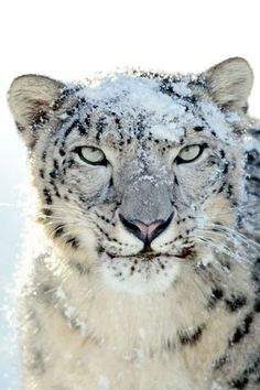 snow leopard. in snow.