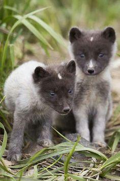 Arctic Fox Cubs by Milo Burcham