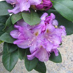 Rhododendron | Minnetonka