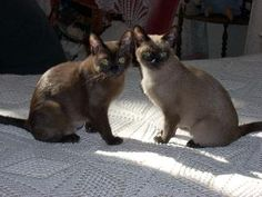 natural mink tonkinese - Google Search