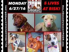 """6/27 Please Share! SUPER URGENT tap picture  BEAUTIFUL LIVES OF DOGS TO SAVE 6/25TO BE DESTROYED STARTING 12NOON PLEASE SAVE US WE ONLY HAVE A FEW MINS / HOURS TO LIVE BEFORE WE GO TO DOGGY HEAVEN THANK YOU PLEASE REPIN AND SHARE THIS INFORMATION  TIME IS CRITICAL THANK YOU IRISH : . Please share! The shelter closes at 8pm. Go to the ACC website( ASAP to adopt a PUBLIC LIST dog (noted with a """"P"""" on their profile) and/or work with a rescue group if you can adopt/foster ANY of our dogs on the…"""