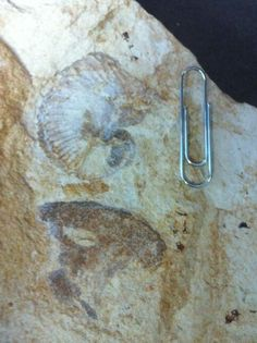 Twitter / NHM_Cephalopoda: Super #FossilFriday today: ...
