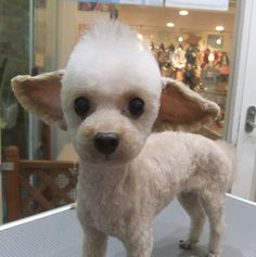 Yoda? Toy poodle - Kind of looks like Dew when he was a puppy - 'cept the ears.  ;)