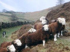 Herdwick sheep - Lake District - England