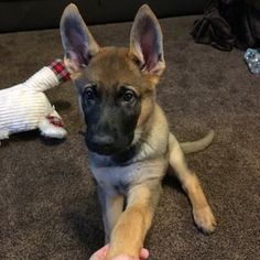 A little blurry but his face in this picture melts me!#samthesable #samthegsd #samthegermanshepherd #germanshepherd #germanshepherdpuppy #germanshepherdsofinstagram #puppy #dog #puppiesofinstagram #puppiesofinsta #dogsofinstagram #dogsofinsta #headtilt #meltsmyheart #cutie #handsome #goodboy by sam_the_sable