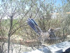 Texas Parks and Wildlife shared Texas Parks and Wildlife - Monahans Sandhills State Park's photo.  The boss is checking in! A roadrunner at Monahans Sandhills State Park in west Texas.