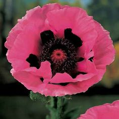 """Oriental Poppies - Raspberry Queen Oriental Poppy.  Late spring, early summer.  Full/partial sun.  30-36"""""""