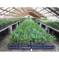 """5 Thuja Green Giant Arborvitae Tree Best Plant - 3"""" Pot 6-12"""" in Height Garden #ThujaGreenGiantArborvitae"""