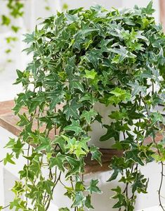 English Ivy (Hedera helix) comes in many varieties for trailing indoor vines. Bright, indirect light and water when the top half of the pot feels dry. Prune to thin vines occasionally.