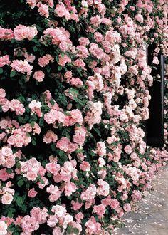 薔薇の壁 (Rose.)