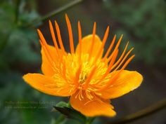 ''Golden Queen'' Trollius chinensis -