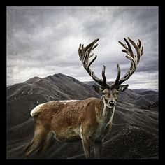 Stag Sanctuary -med by Clive Collins - prints Elk, Spring 2015, New Zealand, Moose Art, Wildlife, Colours, Sculpture, Art Prints, Canvas
