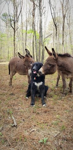 Donkeys and dog Animals And Pets, Baby Animals, Funny Animals, Cute Animals, Funny Animal Pictures, Cute Pictures, Beautiful Creatures, Animals Beautiful, Unlikely Animal Friends