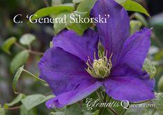 Clematis 'General Sikorski'