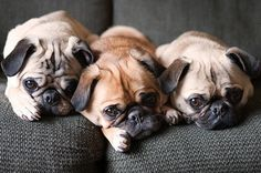"""Who doesn't love some cute pugs? """" I want all three of those pugs to come play with me and my pug Charleston! A pug party is what we need! Amor Pug, Pug Love, I Love Dogs, Cute Dogs, Pugs And Kisses, Pug Puppies, Baby Dogs, Doggies, Mans Best Friend"""