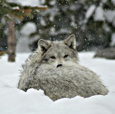 Wolf Resting by © Brandon and Becky Holley