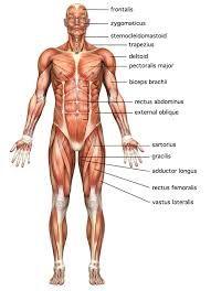 Resultado de imagen para MUSCLES