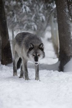 Landscape & Animals — wolveswolves: Wild wolf in Alaska by Doug Brown