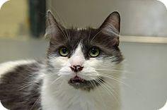 2/22/17 URGENT! Brooksville, FL - Domestic Mediumhair. Meet 10309137, a cat for adoption.  Hernando County Animal Shelter Pet ID #: 10309137 Phone: (352) 796-5062 http://www.adoptapet.com/pet/17613830-brooksville-florida-cat