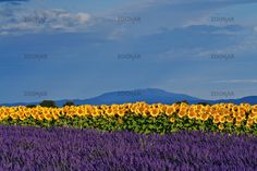 I want to see this :) Sunflower and Lavender fields, Provence, France