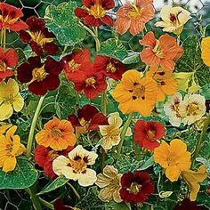 Tropaeolum majus 'Jewel of Africa' (Indian cress, Nasturtium) - Fine Gardening Plant Guide
