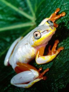 Metallic reed frog-madagascar