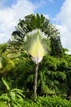 arbre-du-voyageur / jardin botanique du Carbet