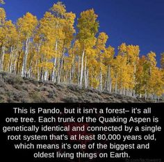 One tree forest - FunSubstance Utah, Places To Travel, Places To Go, Aspen Trees, Wtf Fun Facts, Random Facts, One Tree, Tree Forest, The More You Know
