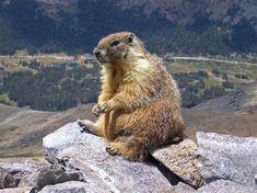Marmots are large ground squirrels of the Marmota genus. There are 14 species of marmots split among two sub-genera. The marmota sub-genus. Food Canada, Animals That Hibernate, Happy Groundhog Day, Honduras Travel, Honduras Food, Ground Squirrel, Fauna, Spirit Animal, Animal Kingdom
