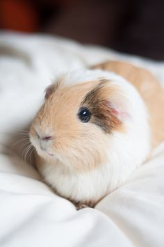 They say you'll always remember your first ;-) Meet Rosie, our first guinea pig who made us fall in love with her and all other guinea pigs after her. Love you forever!